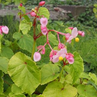 シュウカイドウ科の花