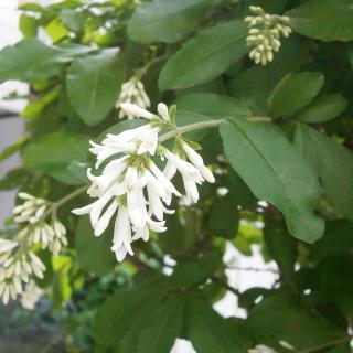 モクセイ科の花