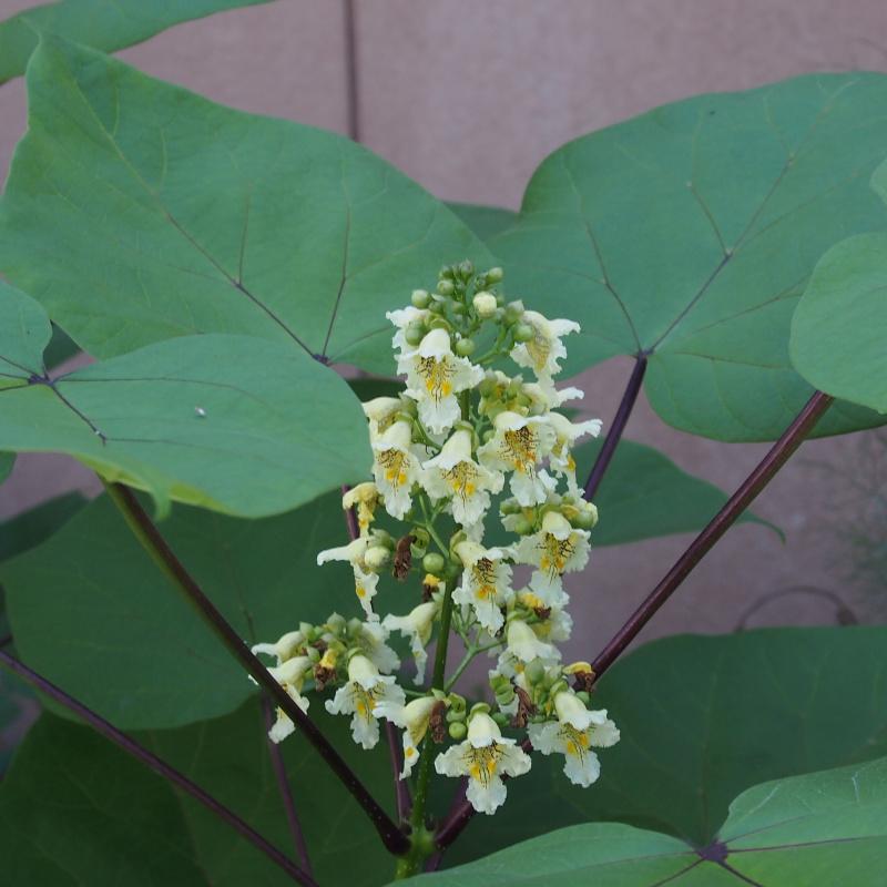 ノウゼンカズラ科の花
